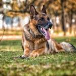 German Shepherd Dog Laying On Grass — Stock Photo #37771793