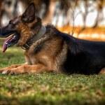 German Shepherd Dog Laying On Grass — Stock Photo #37771963