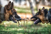 Two Dogs Playing With A Stick — Stock Photo