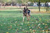 German Shepherd Dog Holding A Stick — Stock Photo