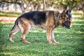 German Shepherd Portrait Side View — Stock Photo