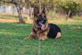 German Shepherd Portrait — Stock Photo