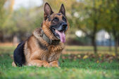 German Shephard Dog Laying — Stock Photo