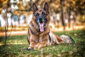 Dog German Shepherd Looking Into Camera — Stock Photo