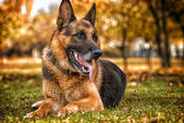 German Shepherd Dog Laying On Grass — Stock Photo