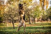 Dog German Shepherd Jumping — Stock Photo