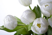 White tulips — Foto Stock