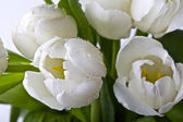 White tulips — Stock fotografie