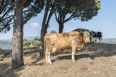 Cow with plumb udder — Stock Photo