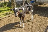 Cow farm — Stock Photo