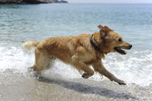 Golden retriever saltando en el agua — Foto de Stock