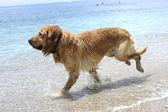 Golden retriever jumping in the water — Foto Stock