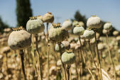 Opium poppies — Stock Photo