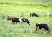 A herd of cows on the pasture — Stock Photo
