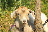 Funny goat puts — Stock Photo