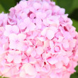 Stock Photo: Pink inflorenscence of hydrangea.