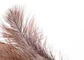 棕色羽毛半背景 — 图库照片