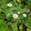 Stock Photo: White flower chamomile roman.