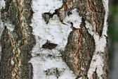 Birch Bark Texture — Stock Photo