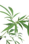 Cannabis plant. — Stock Photo