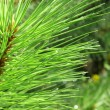 Background of young pine. Needle. — Stock Photo