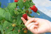 Hand hold ripening raspberry on the bush. — Stock Photo