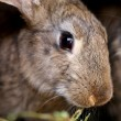 Stock Photo: Head of brown rabbit. Close up.