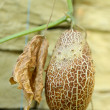 Overripe Brown Cucumber on Advancement Flap. — Photo