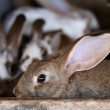 Stock Photo: Young rabbit animal farm and breeding.