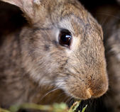 Head of brown rabbit. Close up. — Stock Photo