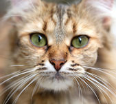 Close-up portrait of green-eyed cat. — Stock Photo