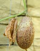 Overrijpe bruin komkommer op vooruitgang flap. — Stockfoto
