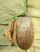 Overripe Brown Cucumber on Advancement Flap. — Стоковое фото