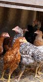 Free - range brown and gray hens. Henyard. — Stock Photo