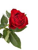 Piękna czerwona róża — Zdjęcie stockowe