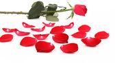 Czerwona róża i płatek. — Zdjęcie stockowe