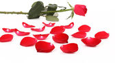 Red rose and petal. — Stock Photo