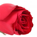 zblízka z červené růže — Stock fotografie