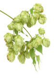 Pile of green hop cones — Stock Photo