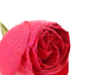 Background of a wet red rose — Stock Photo