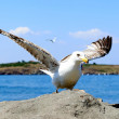 Close up of seagull in action. — Stock Photo