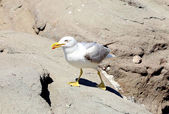 Close up white seagulls on rocks. — Stock fotografie