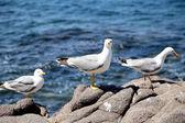 Three white seagulls on rocks. — Stock fotografie