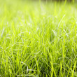 Grass background closeup photo. — Stock Photo