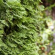 Background of spruce branches close-up. — Stock Photo