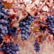 Ripe grapes Moldova. — Stock Photo