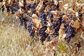 Background of ripe grapes Moldova — Stock Photo