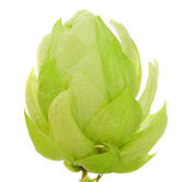 Close up of hop flower — Stock Photo