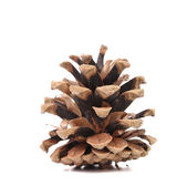 Brown pine cone — Stockfoto