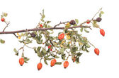 Isolated image of a branch rose hips. — Stock Photo